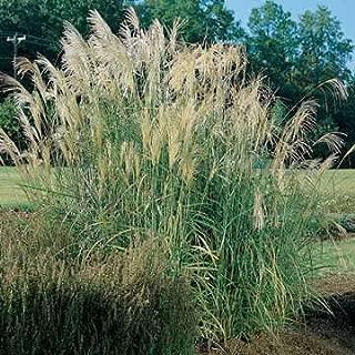 Park Seed New Hybrids Maiden Grass Seeds