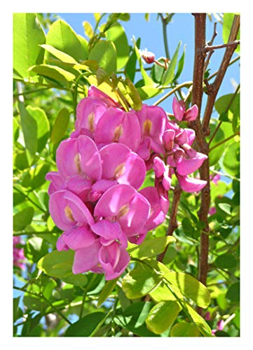 Rosarote Robinie - 30 Samen (Robinia pseudoacacia x margaretta)