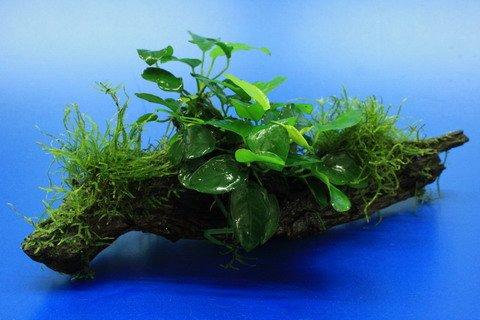 WFW wasserflora Zwergspeerblatt/Anubias Nana mit Javamoos auf schöner ca. 30 cm großer Wurzel