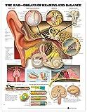 The Ear: Organos de audición y equilibrio: Organos de audición y balance anatómico