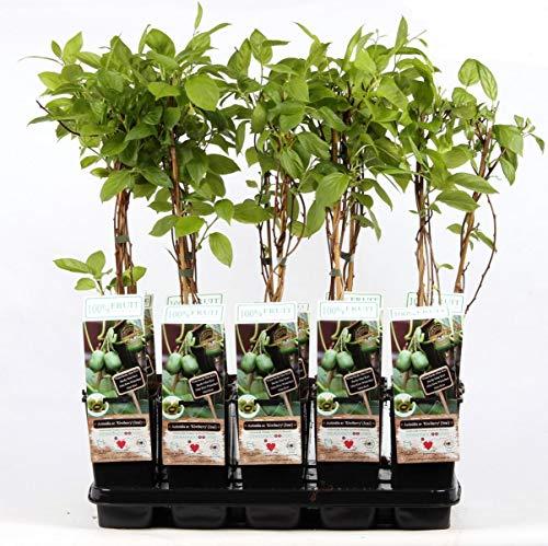 Mini-Kiwi Issai 70 cm - Actinidia arguta Kiwiberry selbstfruchtend