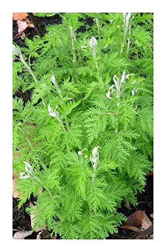 Artemisia afra - Lanyana - Duft-Eberraute - 10 Samen
