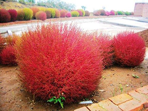 maison et jardin Semences de l'herbe Herbe Buisson Ardent Kochia Scoparia Seeds Red Garden ornemental de grossissement facile de vivaces