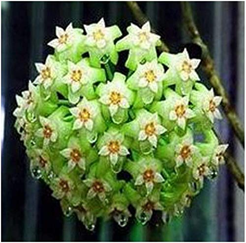 Les meilleures ventes! Graines vert Hoya, Seed pot, Hoya Carnosa Flower Seed Jardin Plantes Bricolage jardin 100 particules / Pack, # DJLXIE