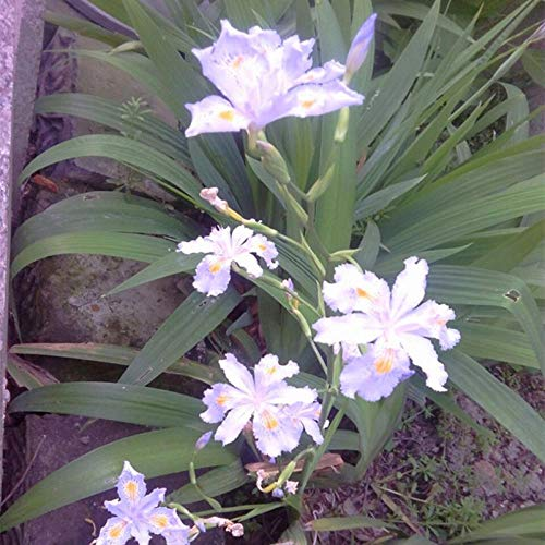 XINDUO Rare Wildflowers Seeds,Landscape plant iris flower seeds-white_0.5kg,Easy to Grow Seeds