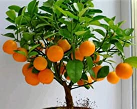 Rain Forest Rare Bonsai Murcott Mandarin Orange Fruit Tree
