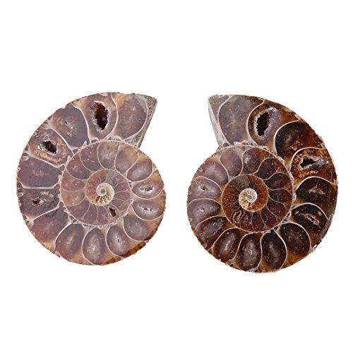 2 Piezas de Muestra de Fósiles de Amonita, Concha Madagascar, Minerales de Piedras Naturales, para Investigación de Fósiles, Enseñanza de Arqueología(4cm in diameter)