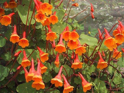 Three Mashua Tubers - Tropaeolum tuberosum – also commonly known as...