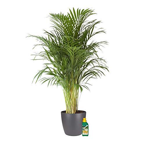 Zimmerpflanze von Botanicly – Goldfruchtpalme in anthrazitfarbenem Übertopf + 250 ml Dünger als Set – Höhe: 100 cm – Areca dypsis lutescens