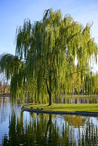 Pixies Gardens Weeping Willow Tree