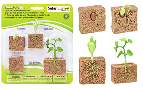 Safari 662416 Ltd. Life Cycle of A Green Bean Plant