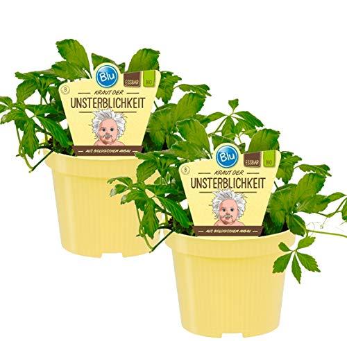 Bio Kraut der Unsterblichkeit (Gynostemma pentaphyllum), Kräuter Pflanzen aus nachhaltigem Anbau