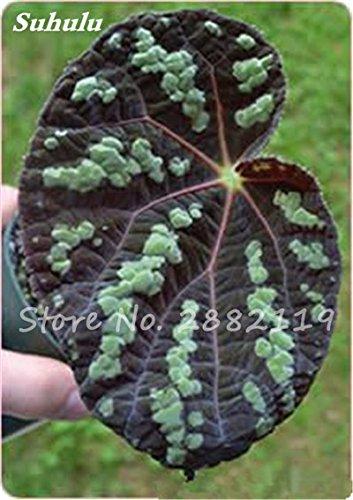 Hot! 100 Pcs Belle Begonia coleus Blumei graines, graines de fleurs colorées rares plantes en pot Begonia pour le jardin Balcon coleus 24
