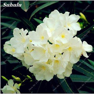 100 Pcs rares Nerium Graines Oleander Plantation Saisons de fleurs en pot Plantes culture facile Chine Graines Balcon Jardin Décoration 7
