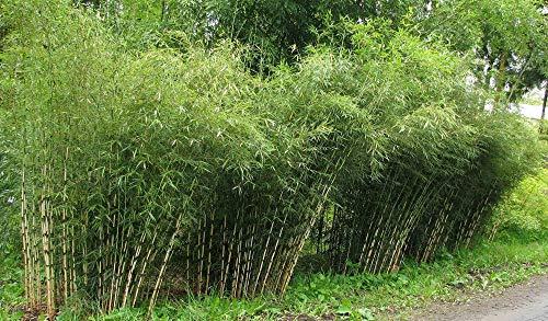 Rara fresca paraguas de bambú (Fargesia spathacea Franch) más de 100 semillas Vendedor de los EEUU