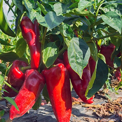 Samen für ca. 15 Pflanzen Parade Paprika – mittelfrühe Sorte, Spitzpaprika