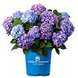 Endless Summer Bloomstruck Hydrangea, 2 Gal, Pink and Purple Blooms