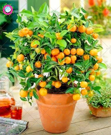 20PCS Bonsai Orange douce Graines Mini pot fruits comestibles Graines Chine Top Qualité Orange Tree Graines Plantes vivaces pour le jardin