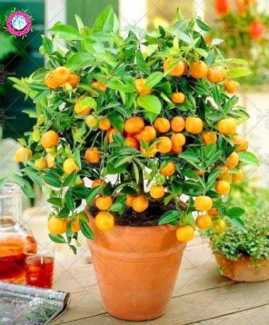 20PCS Bonsai Orange douce Graines Mini pot fruits comestibles Graines Chine Top Qualité Orange Tree Graines Plantes vivaces pour le jardin