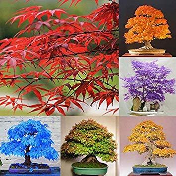 Potseed Yellow 20Pcs: 20Pcs Blue Japanese Maple Tree Seeds Acer Palmatum Atropurpureum Plant