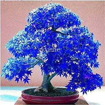 Echter japanischer Geist Blau Ahorn Bonsais Rare Balkon Bonsai-Baum-Pflanzen für Hausgarten-20 PC Verschiffen: 11