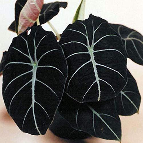 Elephant Ear - Alocasia reginula Black Velvet Tropical Garden Live...