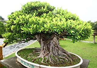 50+ Banyan Fig Tree Seeds - Ficus benghalensis - Indian Bonsai USA - BKSeeds