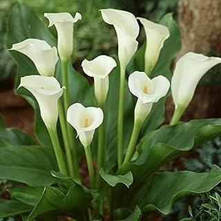 PLAT FIRM SEMILLAS DE GERMINACION: 4 bulbos: bulbos de lirio, flores de lirio, no semillas, plantas en maceta, cala blanca