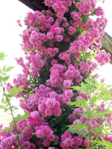 Pinkdose BEAUTIFULL IMPORTATI ROSA rosa rampicante
