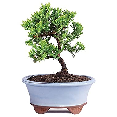 Brussel's Live Green Mound Juniper Outdoor Bonsai Tree - 3 Years Old; 4  to 6  tall with Decorative Container - Not Sold in California