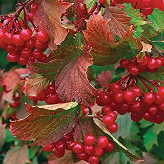 American Highbush Cranberry, Viburnum trilobum, Shrub 100 Seeds (Showy, Fall Color)