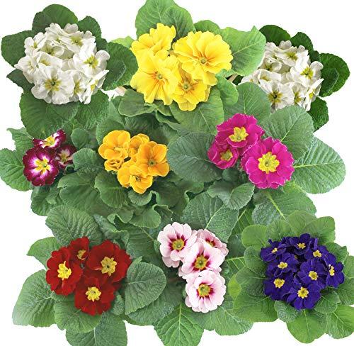 Isenzo Lebende Topfpflanze Primel (Primula) FARBENMIX Blühpflanze Frühlingsblume Blume im Topf Zimmerpflanze Garten Terrasse