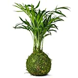 Bonsai Tree Palm Kokedama Indoor Real Live Mature House and Desktop Plant - The Green Moss Ball is The New Art with Japanese Zen Gardens and A Unique Idea As A Bonzai Gardening Gift - 25cm High