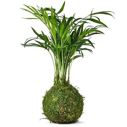 Zimmerbonsai Bonsai Palme Kokedama - Deko Wohnzimmer und Schreibtischpflanze Echt - Der Moosball Ist die Neue Kunst der Japanischen Zen-Gärten - Geburtstagsgeschenk für Frauen und Männer - 25 cm Hoch
