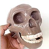 FMOGE Medical Anatomy Skull Model - Pekingese Skull Head Model - Life Size Replica Skull Model - 1:1 Replica Human Skull Skeleton Model - PVC Material - for Study Display Teaching Medical Mode