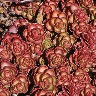 1 Plant Sedum Spurium, Fuldaglut, Stonecrop Beautifull Fresh