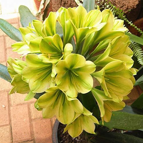 TENGGO Egrow 100 Teile/Paket Topf Clivia Samen Miniata Pflanze Wunderschöne Bonsai Seltene Bush Lily Blume Bonsai DIY Hausgarten - 1