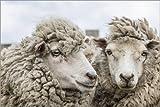 Poster 150 x 100 cm: Schafe vor der Schur, Falklandinseln