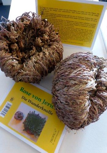 TROPICA - Rose von Jericho (Selaginella lepidophylla) - Mega-XXL-Knollen - 2 Stück