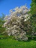 Rare - North Carolina State Flower. Cornus Florida - Florida Cornus - 5 Semillas