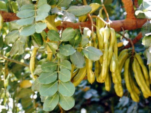 ScoutSeed Ceratonia siliqua (Johannisbrotbaum) - 50 Samen