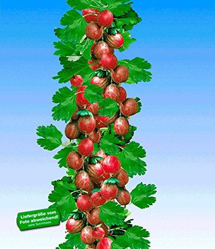 BALDUR-Garten Rote Säulen-Stachelbeeren, 1 Pflanze, Ribes uva-crispa Säulenobst