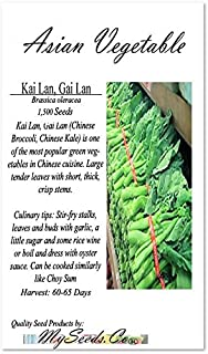 BIG PACK - (1,500) Chinese Broccoli, Kailan Gai Lan Seeds - Used in Cantonese Cuisine - Non-GMO Seeds by MySeeds.Co (BIG PACK - Kai Lan)