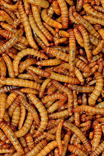 Mehlwürmer lebend, Futtertiere 1kg für Reptilien und Vögel