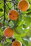 Kaki Pflaume Sharonfrucht 5 Samen