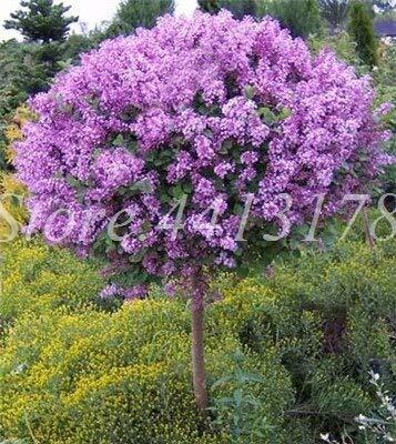 Shopvise 50Pcs / Sac Graines Lilas Ese (très odorant) Girofle Fleur Lilas Graines Graines de jardin en plein air Décor: 1