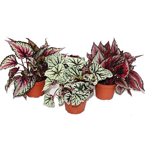 Mix of ornamental-leaved begonias'Botanica' - 3 plants - 12cm pot