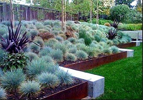 100 bleu fétuque Semences à gazon - (Festuca glauca) herbe ornementale plante vivace si facile à cultiver 6