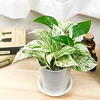 観葉植物 ポトス マーブルクイーン 4号鉢 受け皿付き Epipremnum pinnatum 'Marble Queen' エピプレムナム