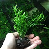 Greenpro Anubias, Java Fern, Moss and More!...